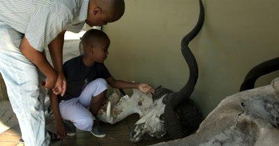 A father educates his son on the bones of a African buffalo/Cape buffalo, Syncerus caffer