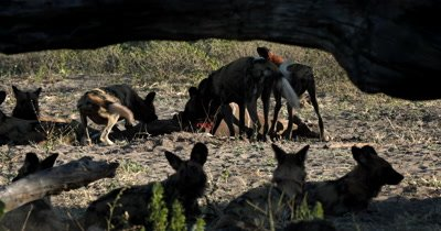 A pack of African wild dog, African  hunt, hunting, predation, ing dog, or African painted dog,Lycaon pictus eating their Kudu kill and tugging at the carcus