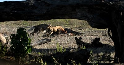 A pack of African wild dog, African  hunt, hunting, predation, ing dog, or African painted dog,Lycaon pictus eating their Kudu kill and tugging at the skin and bones