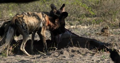 A pack of African wild dog, African  hunt, hunting, predation, ing dog, or African painted dog,Lycaon pictus eating their Kudu kill and tugging at its ribs and skin