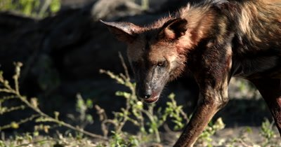 An African wild dog, African  hunt, hunting, predation, ing dog, or African painted dog,Lycaon on the move after it has eaten from its kill, its neck full of blood