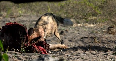 An African wild dog, African  hunt, hunting, predation, ing dog, or African painted dog,Lycaon pictus eating their Kudu kill and tugging at its ribs and skin its neck dripping with blood