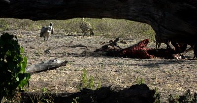 An African wild dog, African  hunt, hunting, predation, ing dog, or African painted dog,Lycaon pictus chases off a flock of White-backed vulture, Gyps africanus trying to steal some food from the carcus