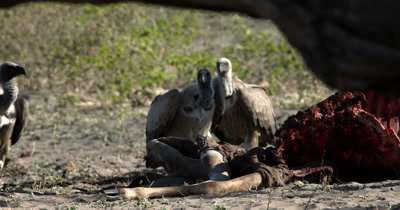A flock of White-backed vultures, Gyps africanus  cautiously near a Kudu Kill and then are frightened away