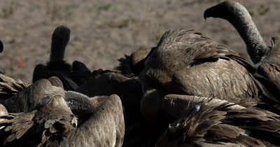 A close up shot of a flock of White-backed vultures, Gyps africanus  scrimmaging for food at a  Kudu Kill