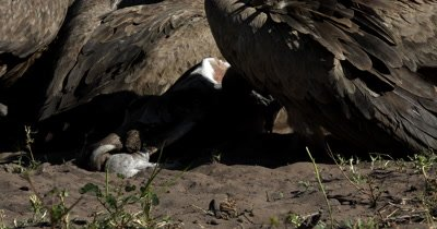 A close up shot of the Kudu kills head and a flock of White-backed vultures, Gyps africanus  tugging at it