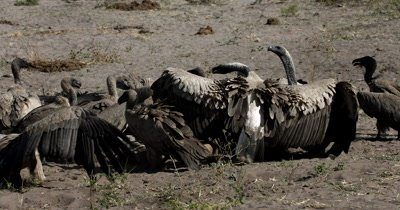 A wide shot of a flock of White-backed vultures, Gyps africanus posturing and fighting for food at a  Kudu Kill