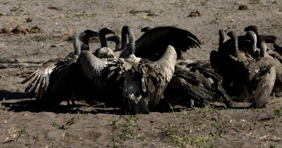 A close shot of a flock of White-backed vultures, Gyps africanus at the  Kudu kill fighting and standing on each others feet
