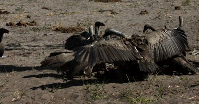 A close shot of a flock of White-backed vultures, Gyps africanus at the  Kudu kill fighting and pecking each other