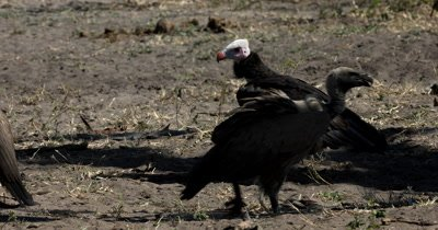 A close up of a  White-headed Vulture,Trigonoceps occipitalis, eating a scrap of flesh and a flock of White-backed Vultures at a Kudu kill