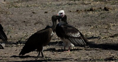 A close up of a  White-headed Vulture,Trigonoceps occipitalis chased off by a dominant lappet-faced vulture or Nubian vulture,Torgos tracheliotos