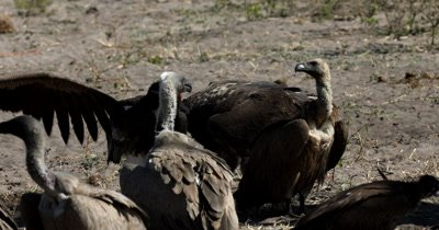 A close up of a  White-headed Vulture,Trigonoceps occipitalis , a dominant lappet-faced vulture or Nubian vulture,Torgos tracheliotos and White -backed Vultures eating scraps at a Kudu kill