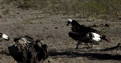 Two  White-headed Vultures,Trigonoceps occipitalis and a flock of White-backed Vultures at a Kudu kill