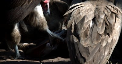 A close up  shot of a dominant lappet-faced vulture or Nubian vulture,Torgos tracheliotos holding onto the Kudu kill with its talons/claws and ripping flesh from the carcus