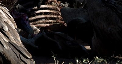 A close up  shot of a dominant lappet-faced vulture or Nubian vulture,Torgos tracheliotos and White-backed vultures holding onto the Kudu kill with its talons/claws and ripping flesh from the carcus