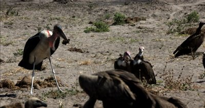 A Marabou Stork,Leptoptilos crumenife eating a scrap from the Kudu kill is moved along by three Hooded Vultures, Necrosyrtes monachus looking for scraps themselves