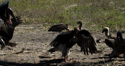 A Marabou Stork,Leptoptilos crumenife at a Kudu kill is chased off by a White-heaed Vulture,Trigonoceps occipitalis