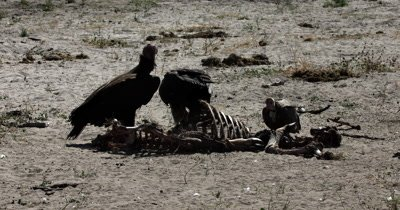 Two lappet-faced vultures or Nubian vulture,Torgos tracheliotos and a Hooded  vulture, Necrosyrtes monachus on the remaining  Kudu kill skeleton