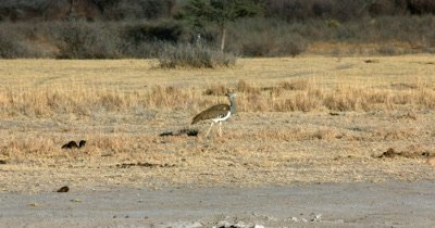 A Kori bustard,  Ardeotis kori walking in the Savannah grass
