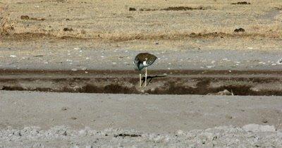 A Kori bustard,  Ardeotis kori drinking water
