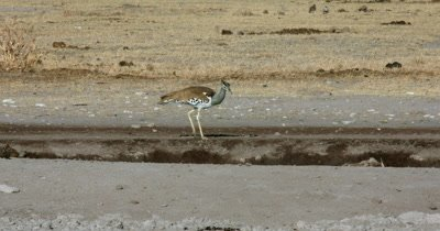 A Kori bustard,  Ardeotis kori walking along the water point