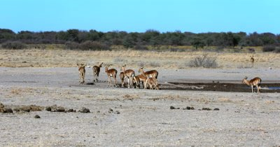 A wide shot of a herd of female Impala,Aepyceros melampus guided back to the savanna grass by a male