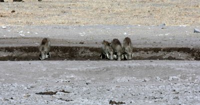 A Warthog, Phacochoerus aethiopicus family drinking water as a Kori bustard,  Ardeotis kori walks past