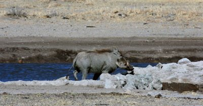 A Warthog, Phacochoerus aethiopicus walking along the waters edge as a Kori bustard,  Ardeotis kori walks past