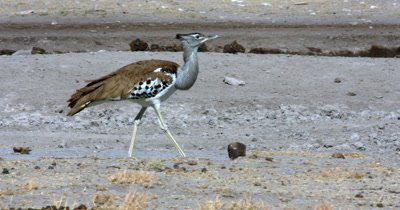 A close up of a  Kori bustard,  Ardeotis kori walking along the water point