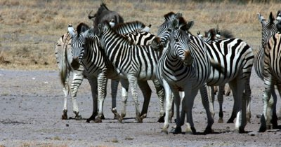 A herd of Zebra,Equus quagga burchellii licking their lips with their pink tongues