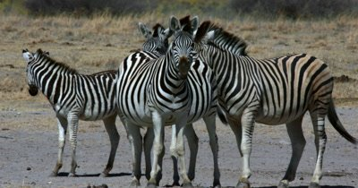 A herd of Zebra,Equus quagga burchellii .One is licking its lips and then bares its teeth and mouth as though trying to talk.