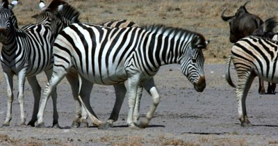 A herd of Zebra,Equus quagga burchellii and Wildebeest, Connochaetes at the water hole where the wildebeest get startled