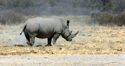 A White Rhinoceros or Square-lipped Rhinoceros, Ceratotherium Simum covers the poop it has just made in sand