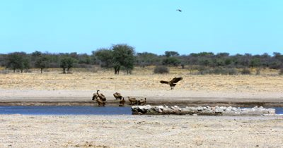 A White-backed vulture, Gyps africanus comes in to land next to the rest of the flock near the waters edge
