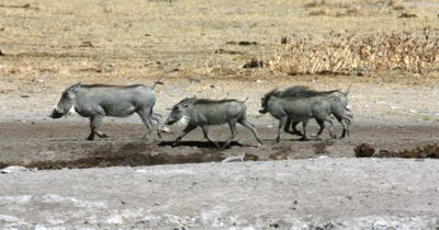 A parent and  three young Warthog (playing), Phacochoerus aethiopicus trotting along the waters edge frighten off some white back vultures,Gyps africanus