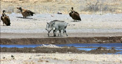 A parent and a young Warthog, Phacochoerus aethiopicus drinking water while some white back vultures,Gyps africanus dry themselves off in the background