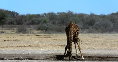 A front wide shot of a Giraffe, Giraffa licking its lips, stoops down to drink