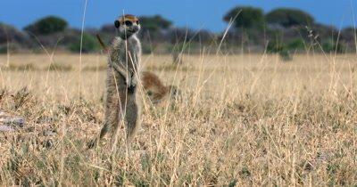 A nervous Meerkat or Suricate, Suricata suricatta keeping watch while a family member bounces behind him