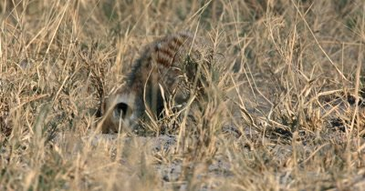 A  close up Meerkat or Suricate, Suricata suricatta frantically digging and searching for food in the sand