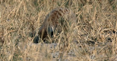 A  close up Meerkat or Suricate, Suricata suricatta frantically eating  something it found in the sandfor food in the sand