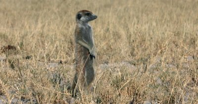 A  close up shot of a Meerkat or Suricate, Suricata suricatta  standing upright keeping watch who then wanders around searching for food in the sand