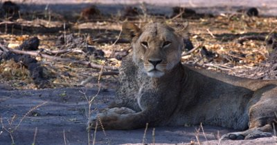 A lioness, Panthera leo laying on the sand in the shade flicking flies off her