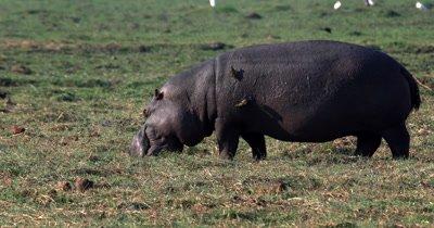 Close up of a Hippopotamus, Hipopotumus amphibius eating grass while Oxpercker or tick birds remove the ticks off its back