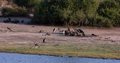 A wide shot of Marabou Stork,Leptoptilos crumenife ,whitebacked Vultures, Leptoptilos crumenife ,Necrosyrtes monachus,Gyps africanus ,Hooded Vulture,Necrosyrtes monachus eating the carcass of a Buffalo kill