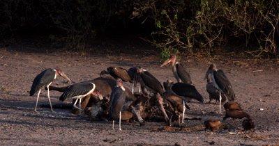 A close shot of Marabou Stork,Leptoptilos crumenife ,whitebacked Vultures, Leptoptilos crumenife ,Necrosyrtes monachus,Gyps africanus ,Hooded Vulture,Necrosyrtes monachus eating the carcass of a Buffalo kill