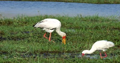 A Yellow-billed Stork,Mycteria ibis and a Spoonbill  hunt, hunting, predation, ing for food and then the Yellow-bill makes a poop