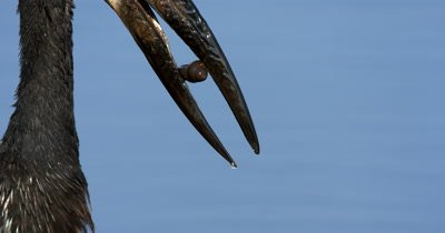 An extreme close up of  the beak of an  African openbill Stork, Anastomus lamelligerus with a snail in it