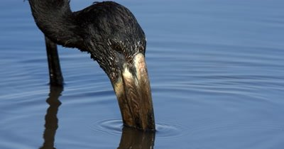 An extreme close up of  an  African openbill Stork, Anastomus lamelligerus washing off the hard shell pieces of a snail it has caught and then eating the flesh