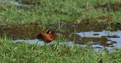 A close up of an African jacana bird, Actophilornis africanus grooming