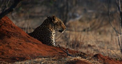 A Close up head and shoulder shot of a Leopard,Panthera pardus lying next to an Ant Hill
